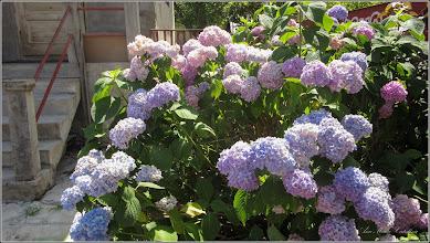 Photo: Hortensie (Hydrangea) din Turda, Str. Trandafirilor, Nr.20 - 2019.07.09