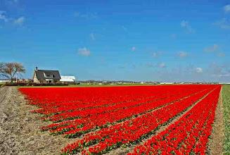 Photo: Nederland Bollenveld zover het oog reikt  Bron: www.picturesofholland.nl  .