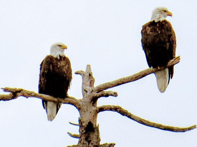 Bald eagles in Halibut Cove