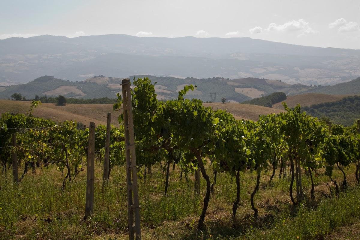 Vigneti Sangiovese, strada del vino Montecucco, Castello Colle Massari, Poggio del Sasso, Cinigiano