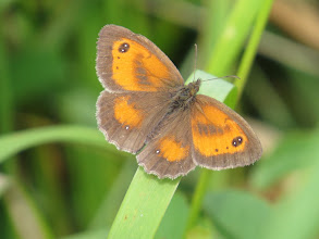 Photo: 24 Jul 13 Priorslee Lake: being a dull morning some of the 'brown' butterflies were resting with wings open to get additional warmth: here a Gatekeeper. The mark across the forewing are scent scales and identify it as a male. (Ed Wilson)