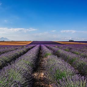 morning in Povence by Marjan Gresl - Landscapes Prairies, Meadows & Fields ( provence, lavandum, violet, perspective, parfum, fields )