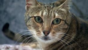 Oriental Bicolor, Donskoy, Minskin, Javanese, Sokoke and Cats of the Web thumbnail