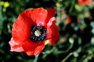 Photo: Poppy - Prints/cards available - http://www.inspiraimage.com/index.php/gallery/flowers/206-poppy