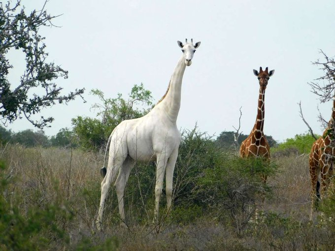 Kenya's only white female giraffe and her calf have been killed by poachers at the Ishaqbini Hirola Community Conservancy.
