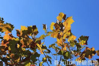 Photo: 拍攝地點: 梅峰-一平臺 拍攝植物: 英國梧桐 拍攝日期:2012_10_23_FY