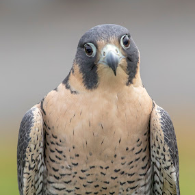 Peregrine Falcon by Debbie Quick - Animals Birds ( peregrine falcon, raptor, debbie quick, nature, falcon, outdoor photography, nature up close, natures best shots, debs creative images, national geographic, outdoor magazine, wildlife photography, birds of prey, outdoors, animal photography, bird photography, animal, wild, hudson valley, nature photography, wildlife,  )
