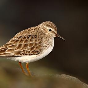 Least Sandpiper by Andrew Johnson - Animals Birds ( bird, nature, wildlife, shorebird, sandpiper, animal )