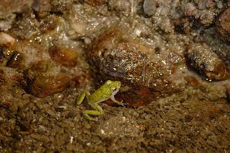 Photo: 很厲害可以泡在鹹水的青蛙.