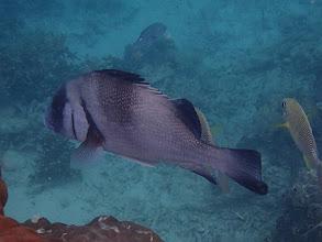 Photo: Plectorhinchus gibbosus (Rubberlip Sweetlips), Miniloc Island Resort reef, Palawan, Philippines.