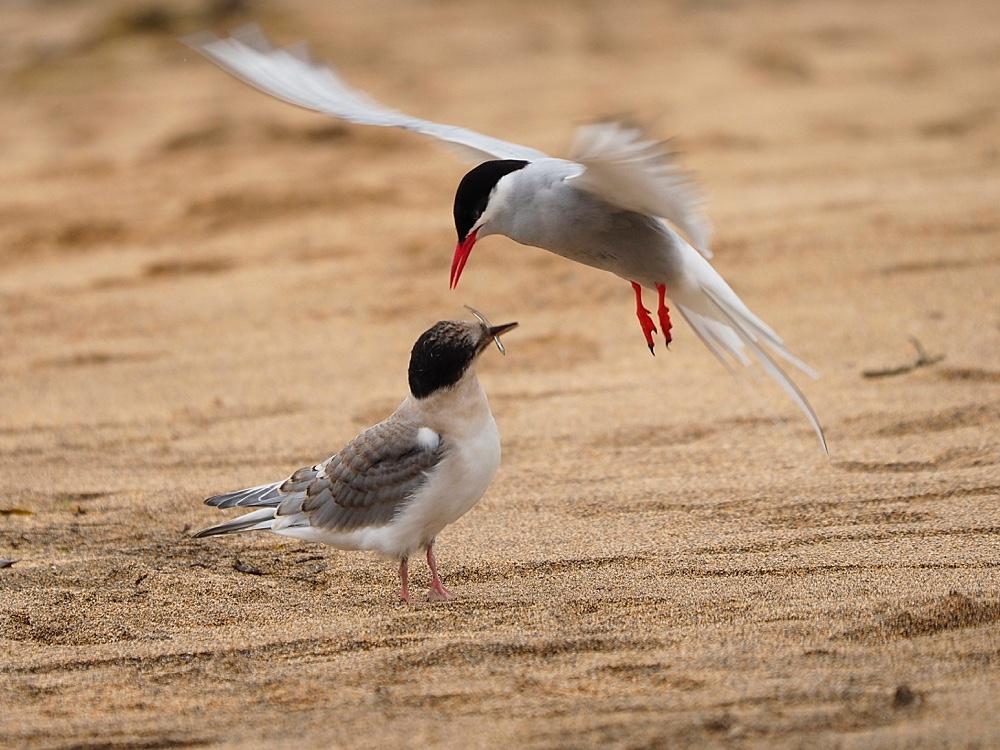 Charrán ártico (Arctic tern)
