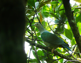 Photo: Green Imperial Pigeon, Kota Kinabalu Bird Sanctuary