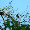 American Redstart Warbler