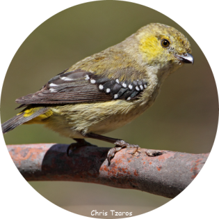 Forty-spotted Pardalote circle.png