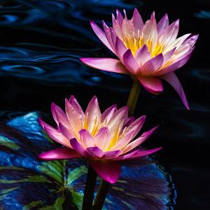 Water Lilies-3.jpg