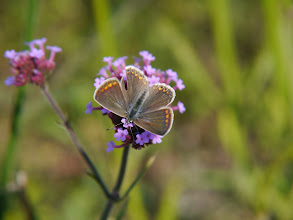 Photo: Icarusblauwtje (vrouwtje)