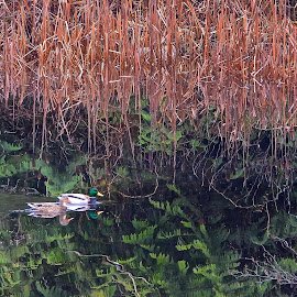 Secret Pond by Campbell McCubbin - Nature Up Close Water ( pond, mallards, green, reflection, reeds, bullrushes, ducks, water )