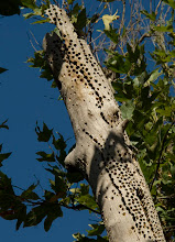 Photo: Old Acorn Woodpecker granary in a sycamore snag, Hastings Reservation, Carmel Valley, California