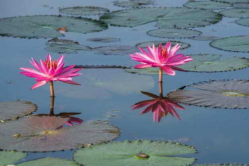 Lotus by Daniel Kong - Flowers Flowers in the Wild ( water, pink flower, lake, garden, lotus flower,  )