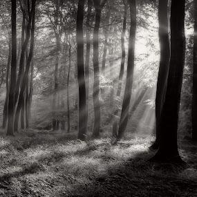 Morning Woodland Light by Ceri Jones - Landscapes Forests ( woodlands, trees, forest, sunlight, light, woods, rays )