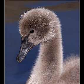 by John Kellaway - Animals Birds ( birds )