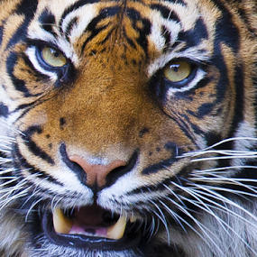 Tiger in close by John Dutton - Animals Lions, Tigers & Big Cats ( cat, daseep, tiger, sumatran, sumatran tiger )