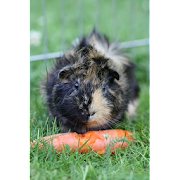 Guinea Pigs Wallpapers Pictures HD