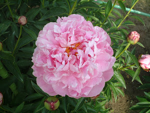 Photo: 信濃の春 八重咲きの巨大輪軸太く花付きの良い強健種