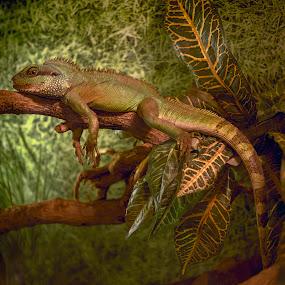 Iguana laying on the branch by Ciddi Biri - Animals Reptiles ( eye, iguana, reptiles, tail, animal, reptilans, reptile, dinosaur, lizard, creature, monster )