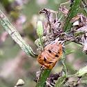 Ladybug larvae casings