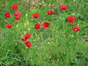 Photo: Poppies near Lake Velence, Hungary.