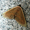 Brownish Peach Moth