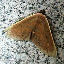 Brownish Peach Moth
