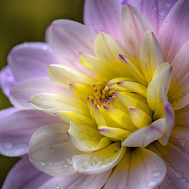 A Bit Summer by Marco Bertamé - Flowers Single Flower ( drops, bloom, dahlia, yellow, purple, petals )
