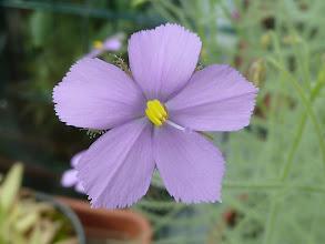 Photo: Byblis 'Goliath' (Cultivar B. filifolia)