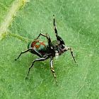 Jade jumping spider