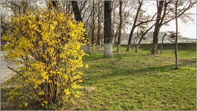 Photo: Ploaia de aur (Forsithya)    - din Turda, Parcul Central - 2019.04.02