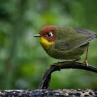 Chestnut-headed Tesia