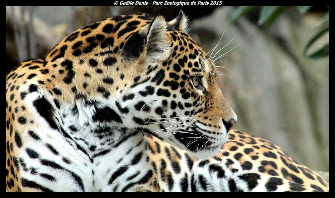 Jaguar, Paris - Tous droits réservés
