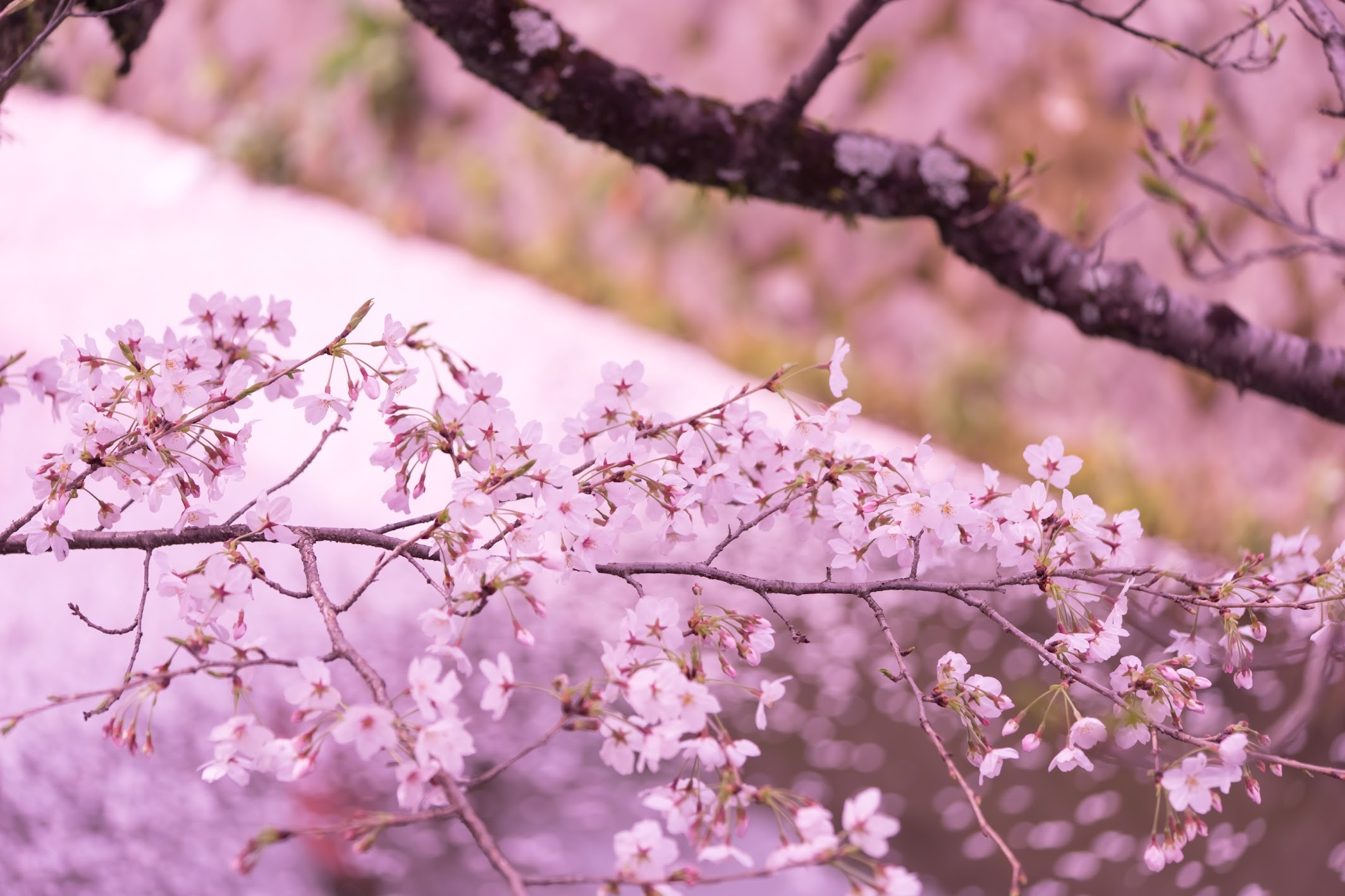 京都 哲学の道 桜の絨毯1