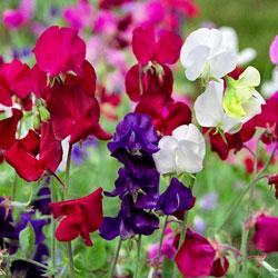 http://store.underwoodgardens.com/images/Sweet-Pea-Royal-Family2Web.jpg
