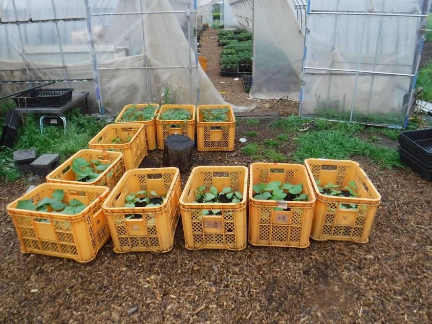 畑から旅立つ苗たち。全部で7種類120ポット。