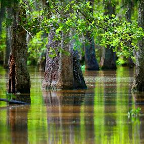 Louisiana Swamp by Chip Bolcik - Landscapes Waterscapes ( water, nature, louisiana, cypress, swamp )