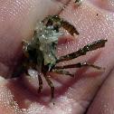 Delicate Decorator Crab