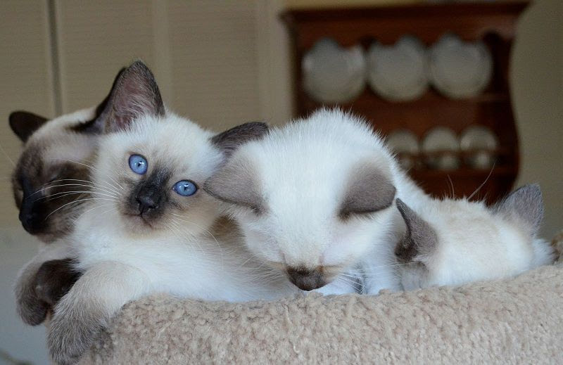 Balinese cat price range. Where to find Balinese kittens for sale?