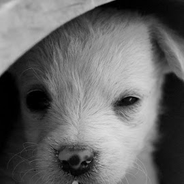 What is Going on? by Savannah Eubanks - Animals - Dogs Puppies ( white baby, puppy, baby, black and white, whit, white dog, sweet )