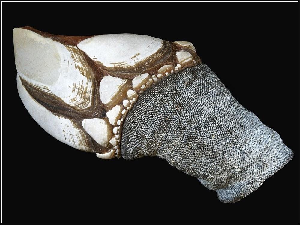 Dedos de Lúcifer, a iguaria perigosa de coletar