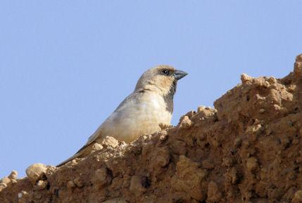 desertsparrowweb.jpg