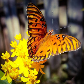 Gulf Fritillary by Anne LiConti - Instagram & Mobile Android ( #mobilephotography, #garden, #phonephoto, #mobilephoto, #mobile, #gulffritillary, #instagram, #butterflygarden, #visitor, #phonephotography, #butterfly,  )