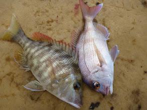 Photo: 真鯛とフエフキのコラボ!